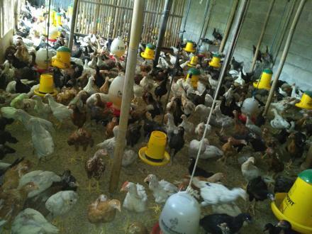 Manfaatkan Lahan Pekarangan bisa Hasilkan 1500 Ekor Ayam