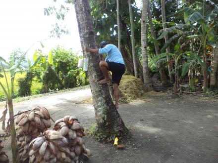 Pengambilan Nira Di Dusun Tluren